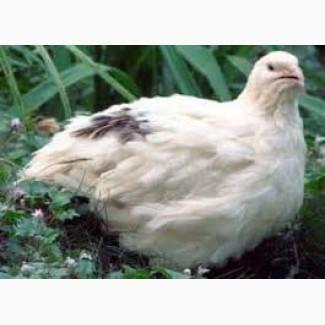 Инкубационные яйца и тушки перепелов Техасский бройлер