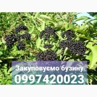 Систематично закуповуємо ягоду чорної бузини