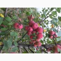 Продам яблука, різні сорта