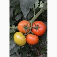Продам помидоры оптом, оптом помидоры, томаты тепличные, купить оптом помидоры