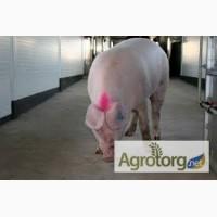 Продам выбраковку свиноматок