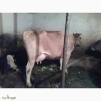 Продам дуже файну корову