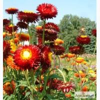 Продам Бессмертник цветы