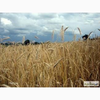 Продам жито от собственика