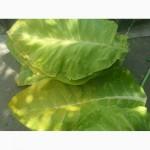 Семена урожайних cортов табака