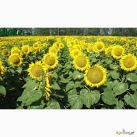Семена подсолнуха Атила, Украинский F1, Сонячний настрий, Армагедон