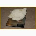 Яйца инкубационные перепела Техасец - бройлер (США Texas A M)