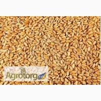 Продам пшеницу фуражную 50 000 МТ FOB