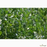 Продам елітне насіння кормових бобів сорту Хоростківські