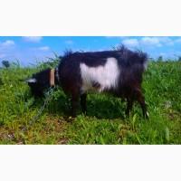 Продам дойных безрогих коз