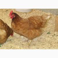 Домашние цыплята чистокровных мясо-яичных пород курей