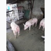 Молодые свиноматки F1
