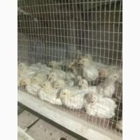 Продам суточных и подрощеных цыплят и корма оптом и врозницу