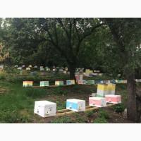 Плодные пчеломатки Бакфаст (от Измайлова Г.Б.). Матки, бджоломатки