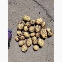 Продам картофель Ривьера опт. От 1 т