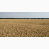 Насіння озимої пшениці сорт Самурай