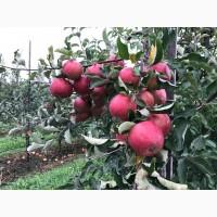 Продам яблоки и груши