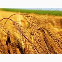 Крупнооптовая закупка пшеницы