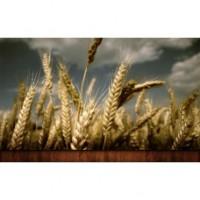 Семена озимой пшеницы сорт Чорнява, 1 репр., элита