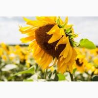 Насіння соняшника Рекольд, 112-116 днів