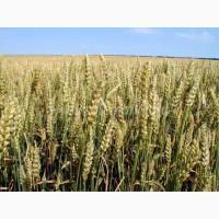 Семена озимой пшеницы Шестопавловка 1р