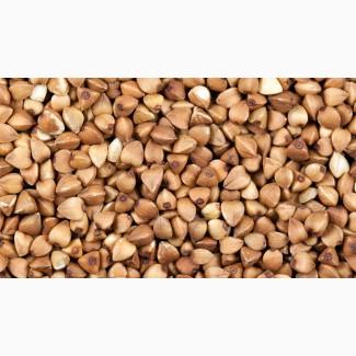 Семена гречихи сорт УКРАИНКА элита 1 репрод