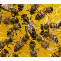 БДЖОЛОМАТКИ Карпатка Плідні матки 2019 (Пчеломатки, Бджоломатки, Бджол