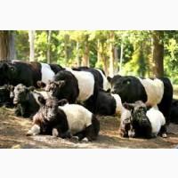 Купим баранов быков коров молодняк лошадей