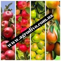 Саженцы различных плодовых деревьев от колоновидных до среднерослых. ПИТОМНИК АГРОДИВО