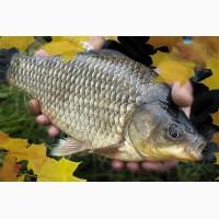 Сезон осенних зарыблений прудов