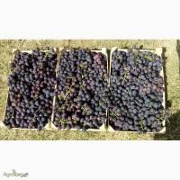 Продам свежий сладкий столовый виноград Кардинал оптом из Молдавии