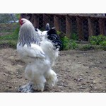 Продам цыплят суточных брама куропатчатая и светлая 60, цесарки 25гр.штука
