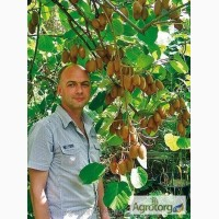 Продажа морозостойких саженцев киви Карпат Стратона Валентайн