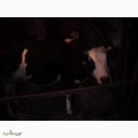 Продам Корову дійну мала 4 тиля