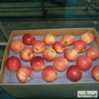 Яблоки из Польши производитель польская компания Mr Apple