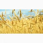 Куплю зерновые культуры (любого качества, опт)