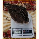 Яйца инкубационные перепела Фараон (селекция Испания)