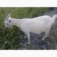 Продам погуляных коз