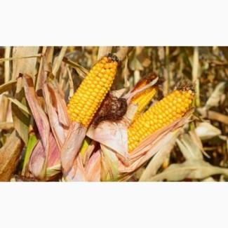 Продам високоврожайну кукурудзу Гран 220