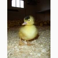 Предложение о реализации утиных яиц для инкубации породы Мулард