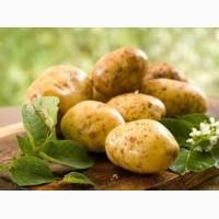 Поставка картофеля на экспорт, Чернигов и обл