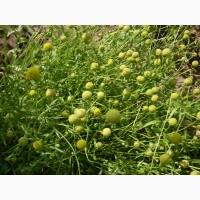 Продам семена Цефалофоры, земляничной травы, свои, сбор 2018