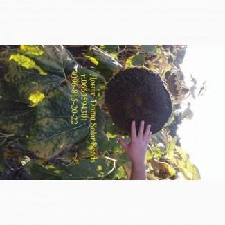 Семена подсолнечника Донат, урожай 45ц/га