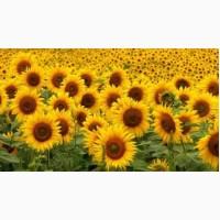 Продам семена подсолнечника Базальт (гибрид F1)
