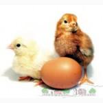 Суточные цыплята Ломан Вайт. Ломан Браун. несушка. Цыплята. Индюшата. Гуси. Утята