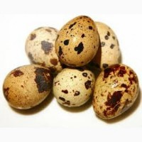 Яйце перепілок Продам гуртом