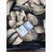 Живая рыба Карась