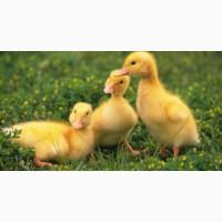 Продам яйцо утки на инкубацию.Цена зависит от размера заказа (Договорная)