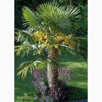 Семена пальмы Трахикарпус Форчуна