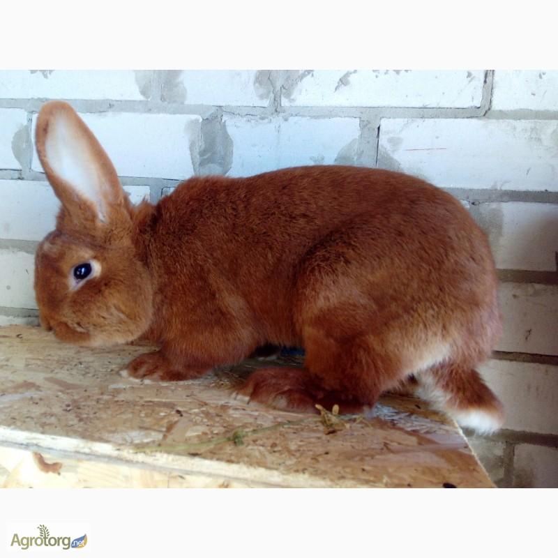 нзк кролик фото в кемеровской области ваше внимание цвет
